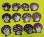 "Wholesale Royal Cloak Scallop Pairs Pecten Pallium Pairs scallop Seashells 1-1/2 - 1-7/8 inches - Packed: 48 pieces @ .25 each; 336 pcs @ .225 each; 1-3/4"" - 2"" - Packed 24 pcs @ .30 each;"