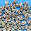 Wholesale Silver Mouth Green Turban Seashells, small shells for hermit crabs  3/4 inch to 2 inches - Packed 2 kilos @ $4.00 a kilo bag;
