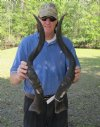 33 inch matching pair of Kudu horns - scuff mark on one horn (You are buying the kudu horns shown) for $37.50 each