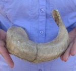 16-3/4 inches Sheep Horn  measured around the curl $11.00 (You are buying this horn.)