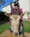 38 inches tall Bull Eland shoulder mount, with damaged ear - you are buying the one pictured for $500 (NO UPS Shipping- Pick Up Only