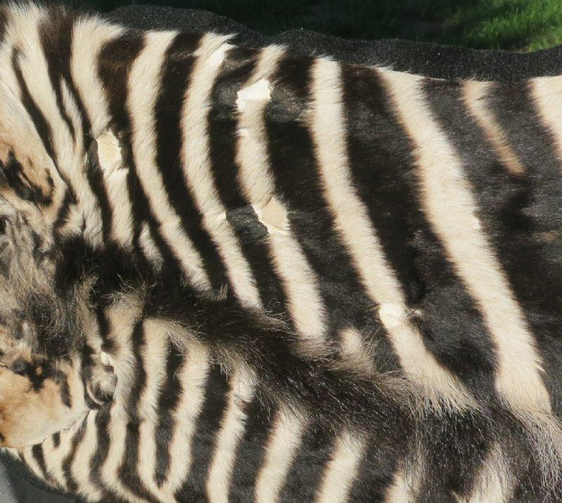 "51"" X 21"" Real Zebra Skin Rug With Felt Backing"
