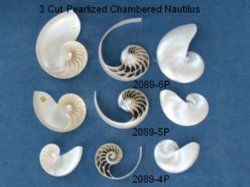 4 inch Wholesale Pearlized 3 Cut Nautilus Shells - Sliced White Nautilus into 3 pieces (2 sides, 1 center)- Packed: 2 sets @ $7 each