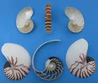 Wholesale Commercial Grade Sliced Nautilus Shell 5 inch Cut Chambered Nautilus Minimum 2 piece  @ $9.50 each
