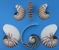 Wholesale Commercial Grade Sliced Nautilus Shells 6 inch Cut Chambered Nautilus Minimum 2 piece @ $12.50 each