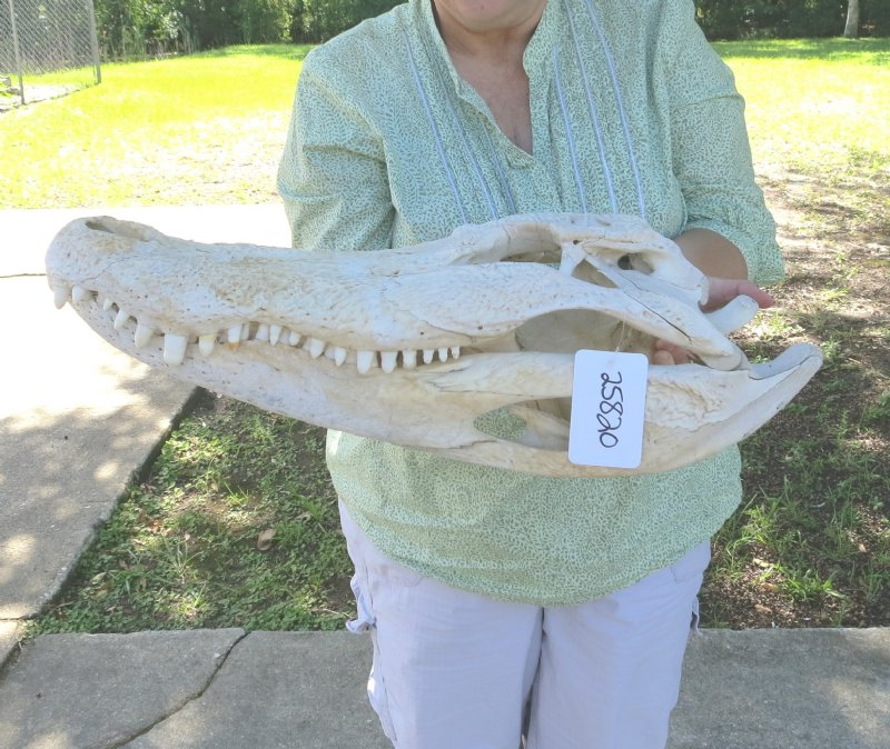 21 inch long alligator skull from an 12 foot louisiana alligator. Black Bedroom Furniture Sets. Home Design Ideas