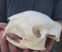 Animal Skulls Without Horns Hand Picked Pricing