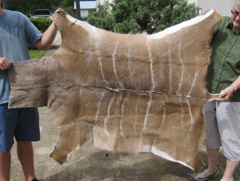 African kudu skin rug tragelaphus strepsiceros for sale for African skin decoration