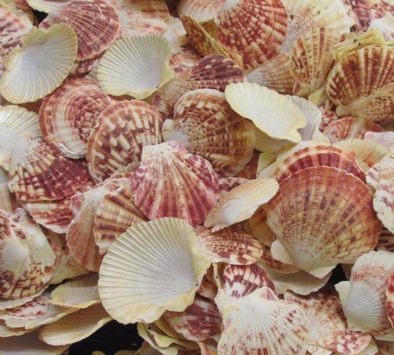 Wholesale pecten lentigious scallop shells for crafts 2 to 3 - Scallop shells for crafts ...