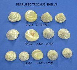 Wholesale Pearlized Trochus Top Shells 2-1/2 to 3 inches -  Packed: 8 pieces @ .85 each; 64 pieces (8 packs) @ .765 each