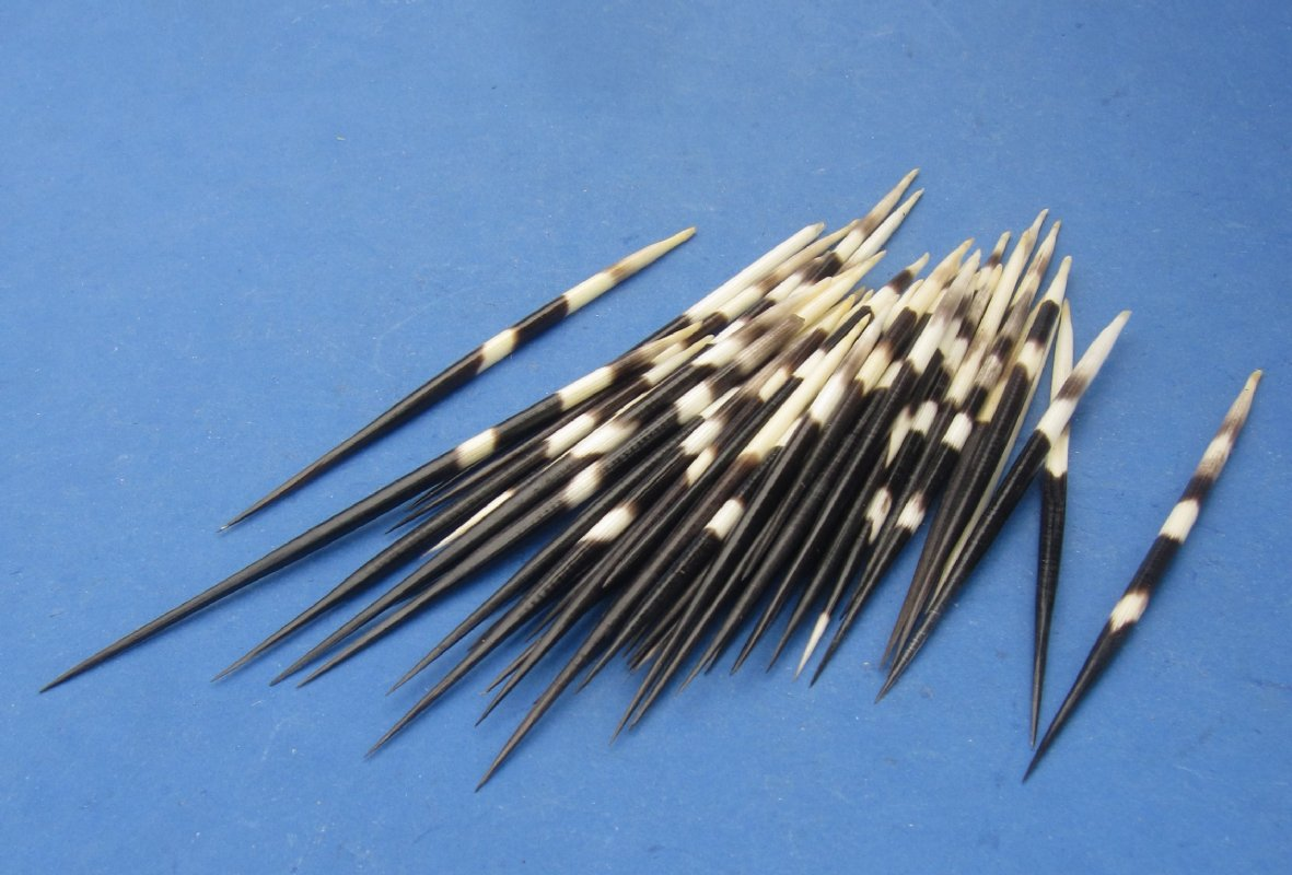 6-8 inch Thick Porcupine Quills Pack of 50