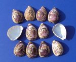 Wholesale cut carved scenery tiger cowrie shells cut for making seashell night lights - Packed: 10 @ $1.25 each