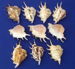 Wholesale cut  spider conchs lambis lambis shells cut for nightlights Packed 10 pieces @ .65 each;