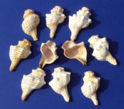 Wholesale cut striped fox conch shell for making night lights Packed 10 pieces @ .60 each;