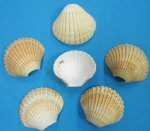 Wholesale Cut Mexican Deep Cup Shells for making night lights Sold 24 pieces per pack@ .40 each; 2 packs ( 48 pcs) @ .36 each