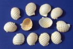 Wholesale cut spotted tun shells for making seashell night lights - Packed 12 @ .50 each