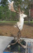 78 inches high Fallow Deer Head Mount on Free Standing Base Made out of fallow deer antlers - $1800.00 (Pick Up Only)