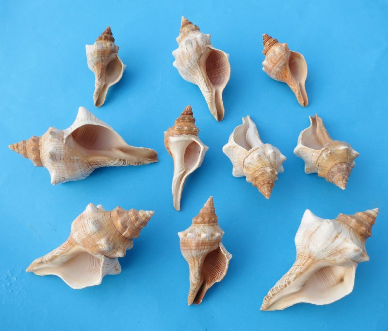 wholesale striped fox shells trapezium horse conchs for hermit crab homes 2 12 inches to 4 inches regular bag of 50 35 eachoverstocked sale bag of - Shell Homes 2