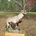Spanish Ibex full body mount on free standing wood base decorated with imitation grasses - $2500.00 (Too large to be shipped - pick up only)