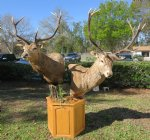 Red Stag Pedestal Mount with 2 red stags on an oak octagon pedestal - $2000 (Too large to be shipped - Pick up Only)