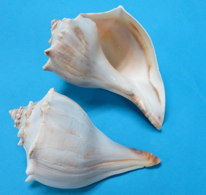 Whelk In Shell