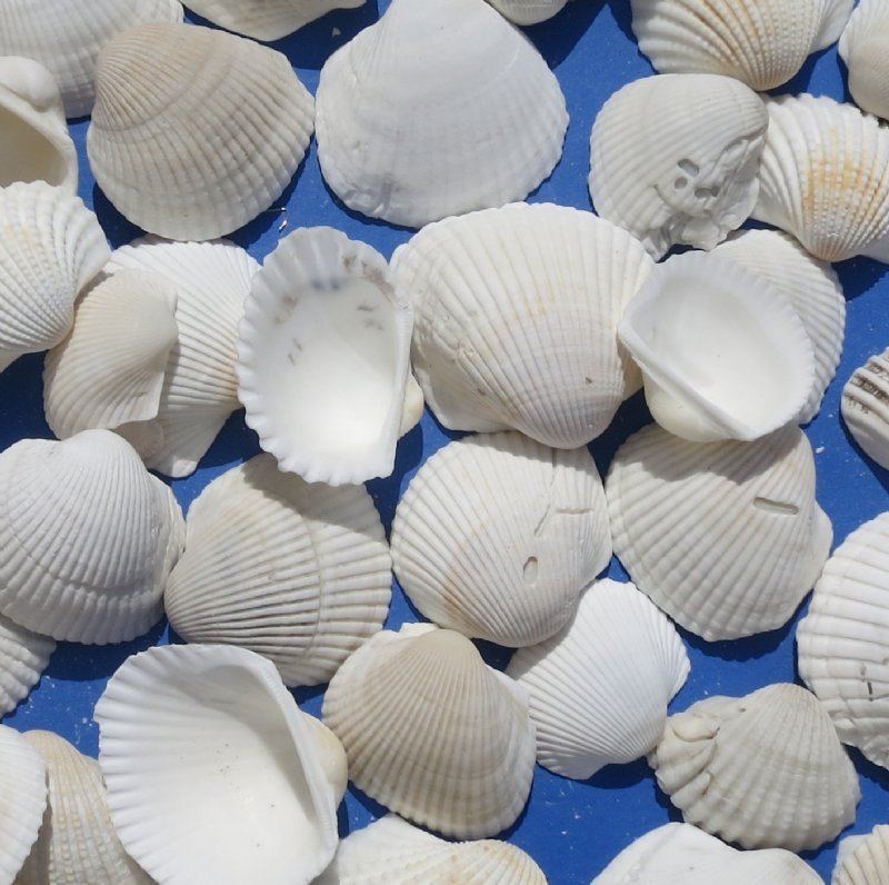 Ark clam shells wholesale for arts and crafts projects 1 for Arts and crafts wholesale