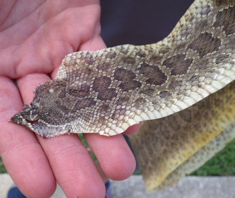 41-1/2 Inch Long Soft Tanned Prairie Rattlesnake Skin With