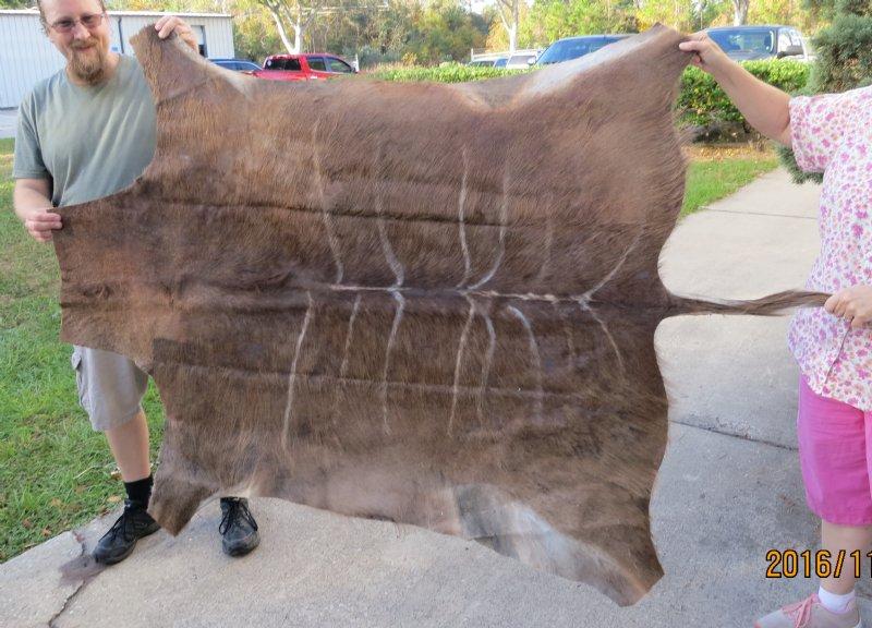 2 grade african kudu skin rug tragelaphus strepsiceros for African skin decoration