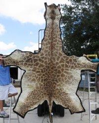 11-1/2 feet long Real African Giraffe Skin Rug,felt lined, Giraffe