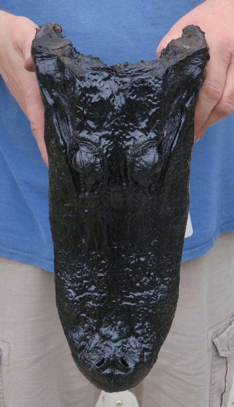 13 1 2 inch alligator head from a 8 foot louisiana gator. Black Bedroom Furniture Sets. Home Design Ideas