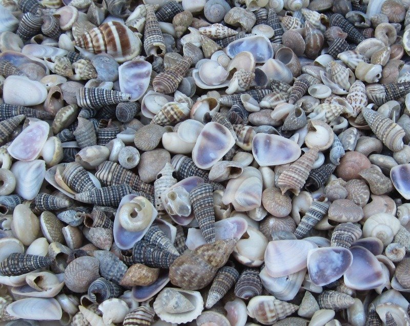 under 1 inch india tiny assorted seashells for crafts