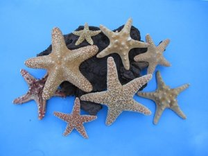 wholesale starfish for sale for crafts and decor