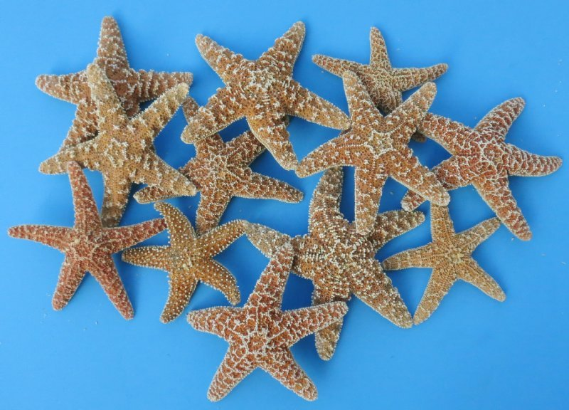 800 Wholesale Sugar Starfish, Sugar Starfish for sale 4 ...