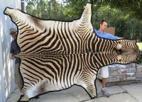 Real Zebra Skins And Hides Imported From South Africa