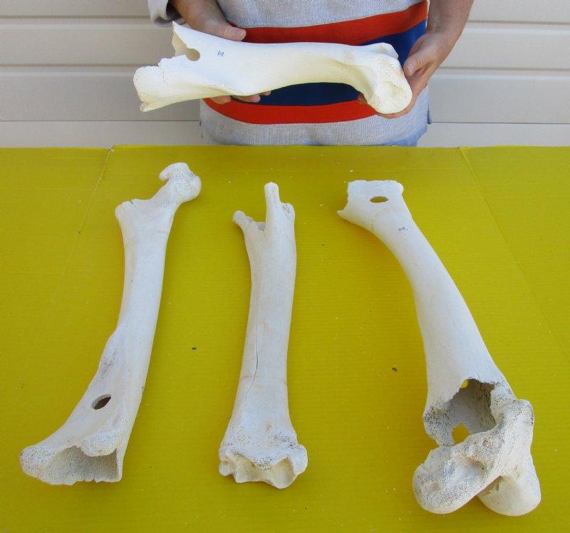 4 Pc Lot Of 2 Grade Real Camel Leg Bones From India