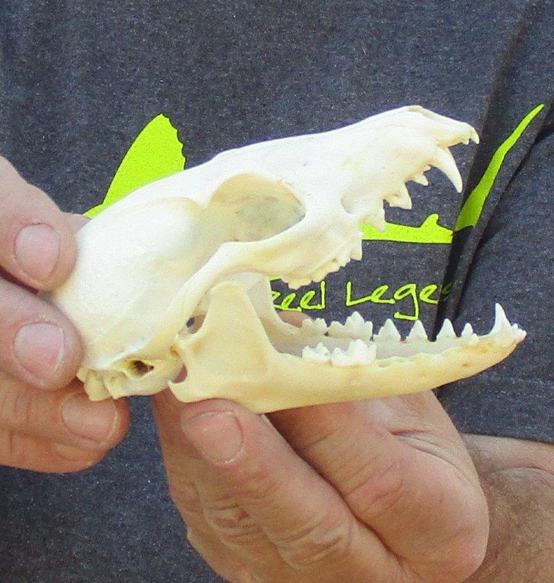 Red Fox Skull measuring 4-3/4 x 2-1/2.