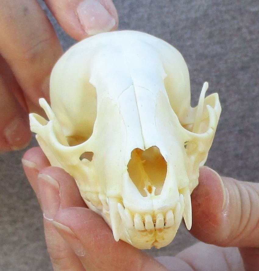 Raccoon Skull measuring 4 inches long and 2 inches wide - You are buying  the skull shown for $25 00
