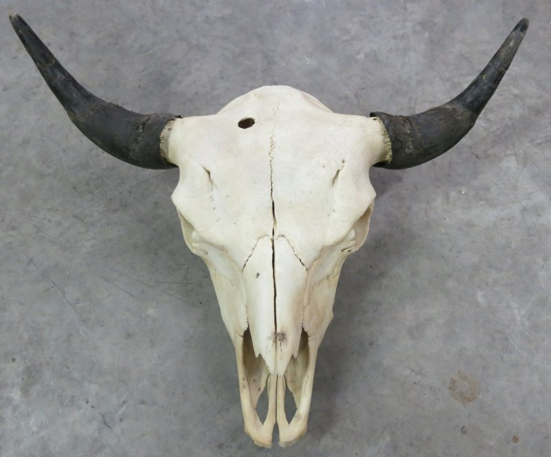 how to draw a bison skull
