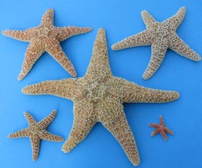 """Sugar Starfish 2/'/' to 3/"""" 12 Pieces"""