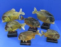 Taxidermy Piranha Fish for Sale Wholesale and Hand Selected