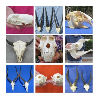 Wholesale Real Animal Skulls for sale at Atlantic Coral
