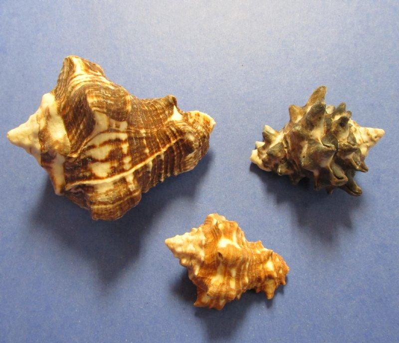 Wholesale Mixed Vasum Seashell Vase Shells For Shell Crafts