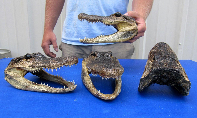10 pcs 8 1 2 inches wholesale alligator heads. Black Bedroom Furniture Sets. Home Design Ideas
